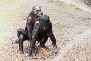 bonobo_sexual_behavior_1