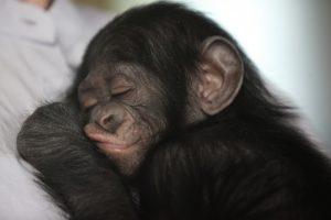 bonobo_3