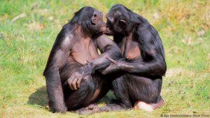 bonobo_4