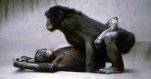 bonobo_sex_1