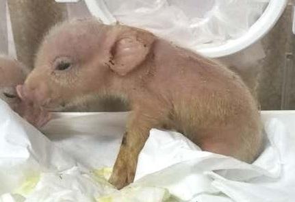 Химера свинья-обезьяна